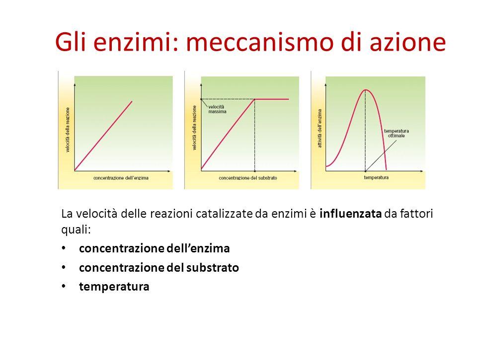 Gli enzimi: meccanismo di azione La velocità delle reazioni catalizzate da enzimi è influenzata da fattori quali: concentrazione dellenzima concentrazione del substrato temperatura