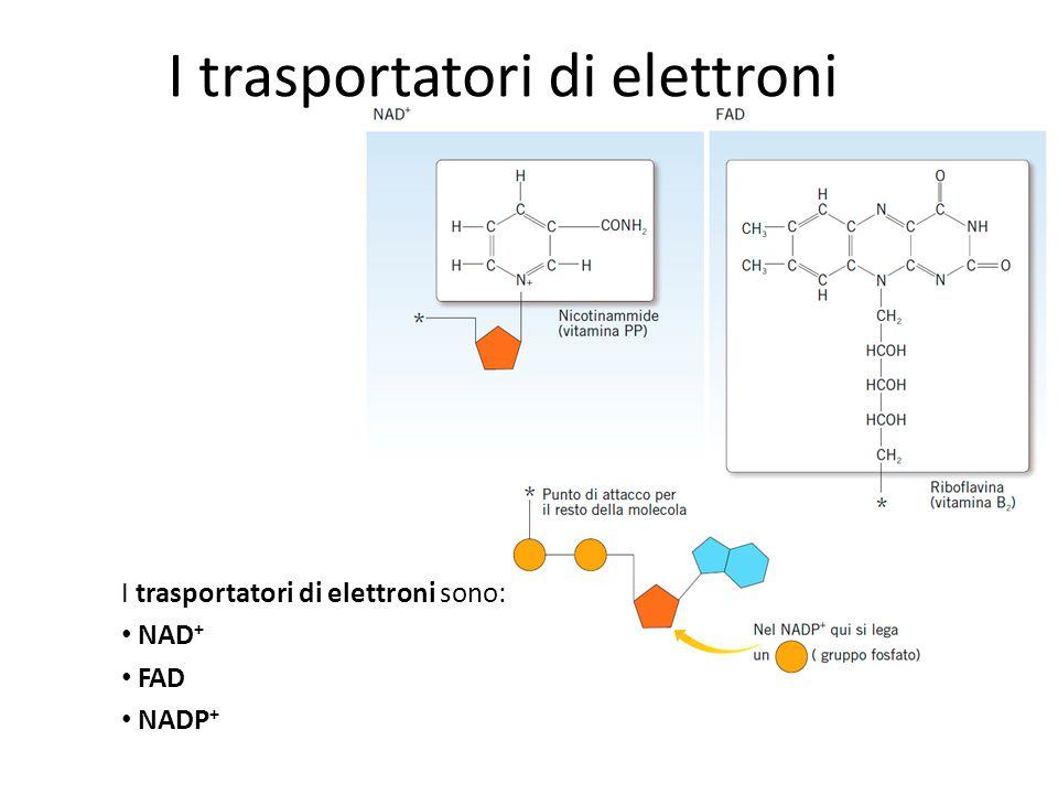 I trasportatori di elettroni I trasportatori di elettroni sono: NAD + FAD NADP +