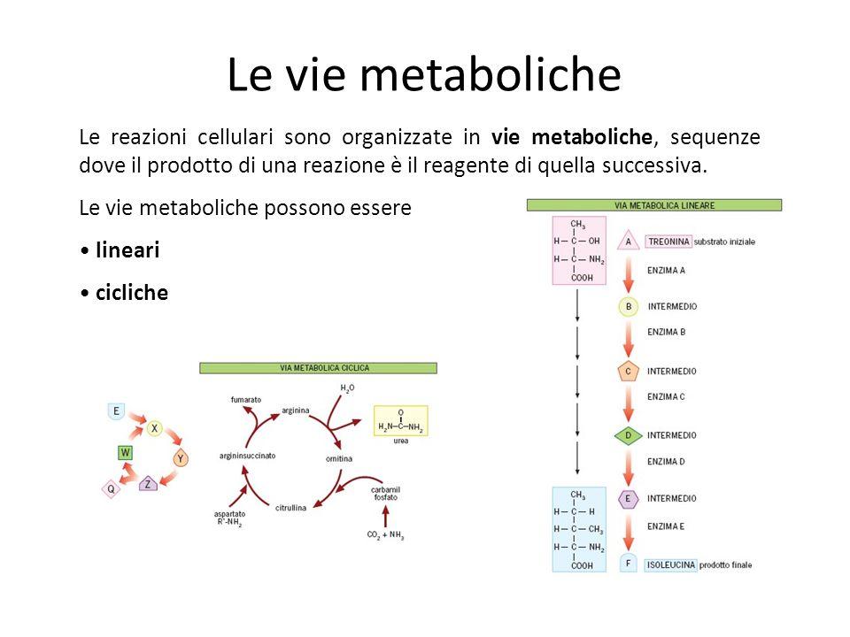 Le vie metaboliche Le reazioni cellulari sono organizzate in vie metaboliche, sequenze dove il prodotto di una reazione è il reagente di quella successiva.