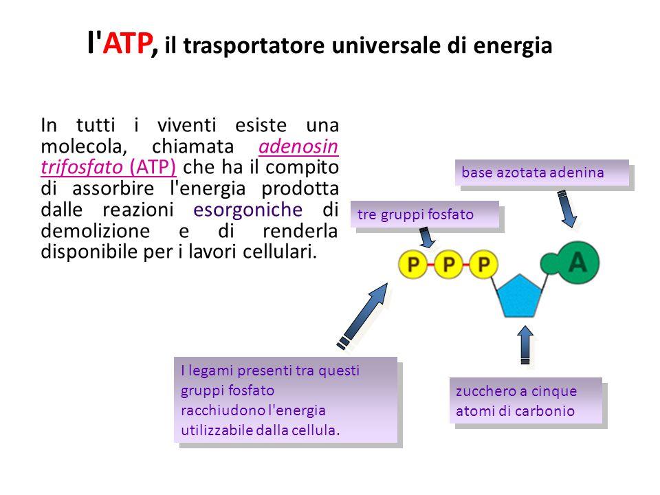l ATP, il trasportatore universale di energia In tutti i viventi esiste una molecola, chiamata adenosin trifosfato (ATP) che ha il compito di assorbire l energia prodotta dalle reazioni esorgoniche di demolizione e di renderla disponibile per i lavori cellulari.
