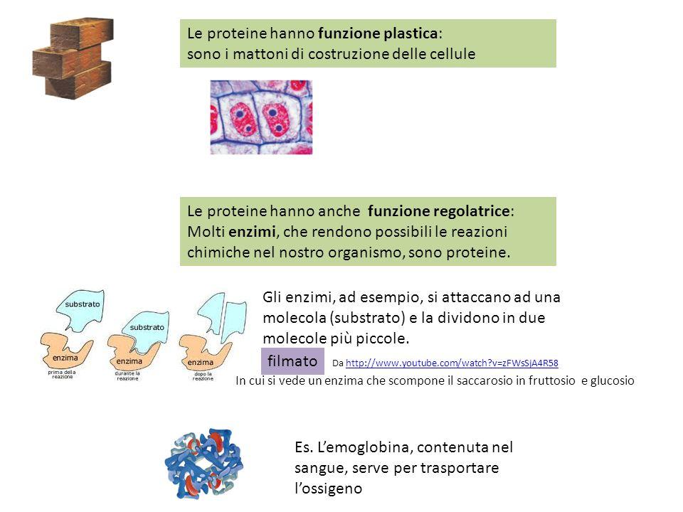 Le proteine hanno funzione plastica: sono i mattoni di costruzione delle cellule Le proteine hanno anche funzione regolatrice: Molti enzimi, che rendo