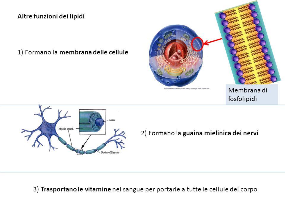 Altre funzioni dei lipidi 1) Formano la membrana delle cellule Membrana di fosfolipidi 2) Formano la guaina mielinica dei nervi 3) Trasportano le vita