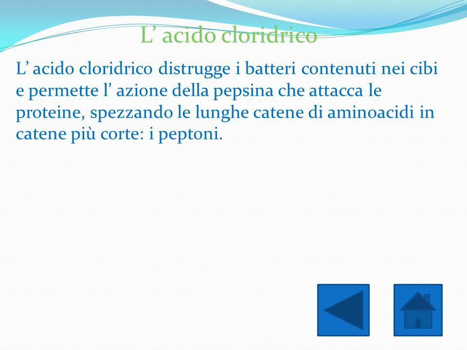 L acido cloridrico L acido cloridrico distrugge i batteri contenuti nei cibi e permette l azione della pepsina che attacca le proteine, spezzando le l