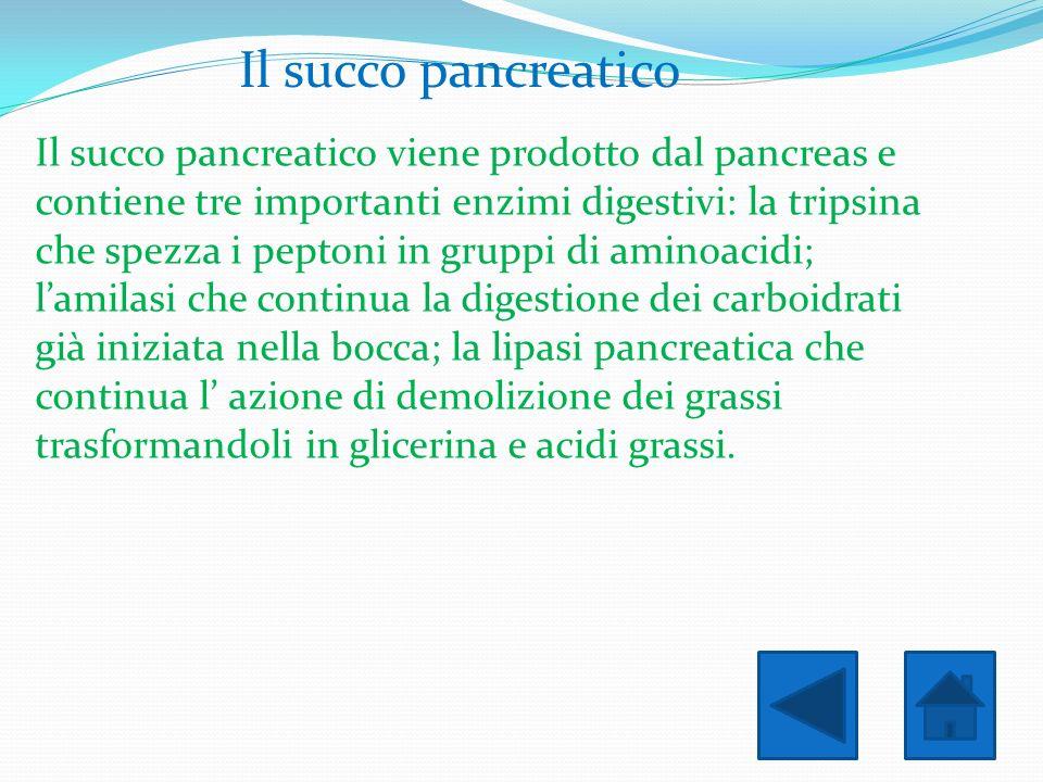 Il succo pancreatico Il succo pancreatico viene prodotto dal pancreas e contiene tre importanti enzimi digestivi: la tripsina che spezza i peptoni in