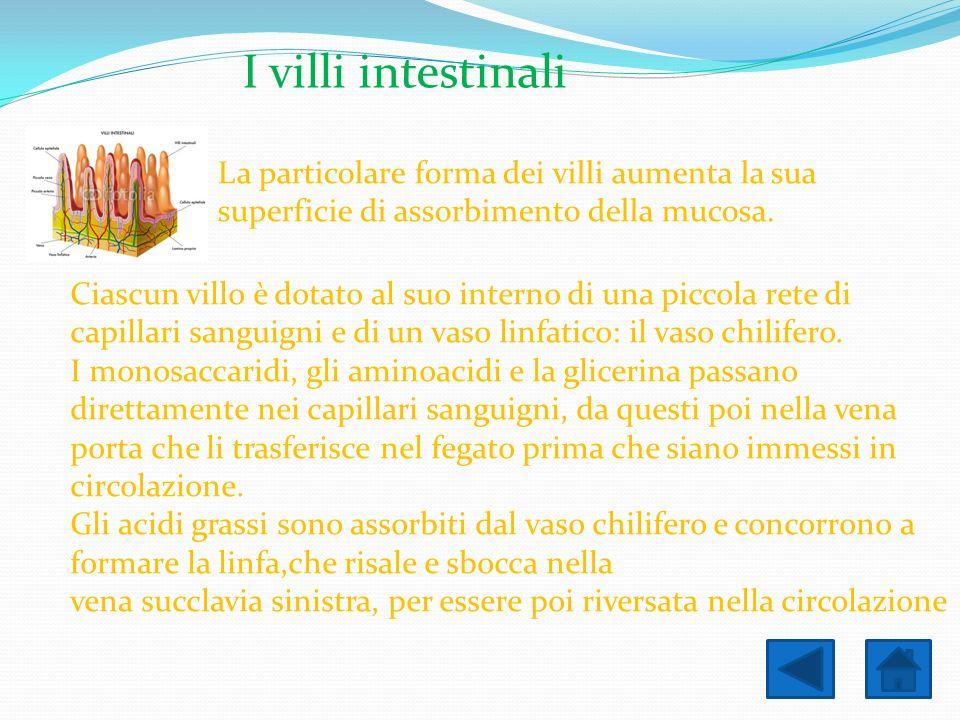 I villi intestinali La particolare forma dei villi aumenta la sua superficie di assorbimento della mucosa. Ciascun villo è dotato al suo interno di un