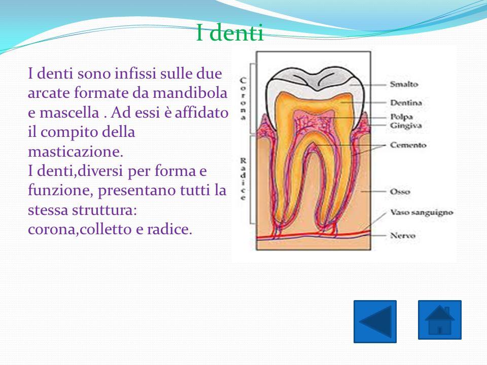 I denti I denti sono infissi sulle due arcate formate da mandibola e mascella. Ad essi è affidato il compito della masticazione. I denti,diversi per f