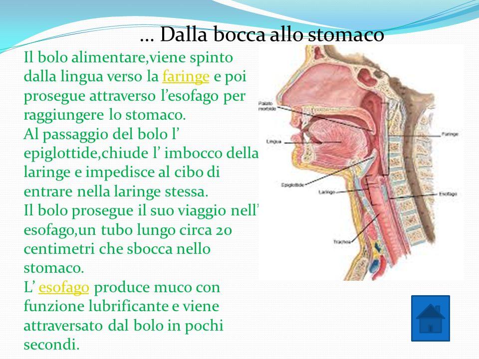… Dalla bocca allo stomaco Il bolo alimentare,viene spinto dalla lingua verso la faringe e poi prosegue attraverso lesofago per raggiungere lo stomaco