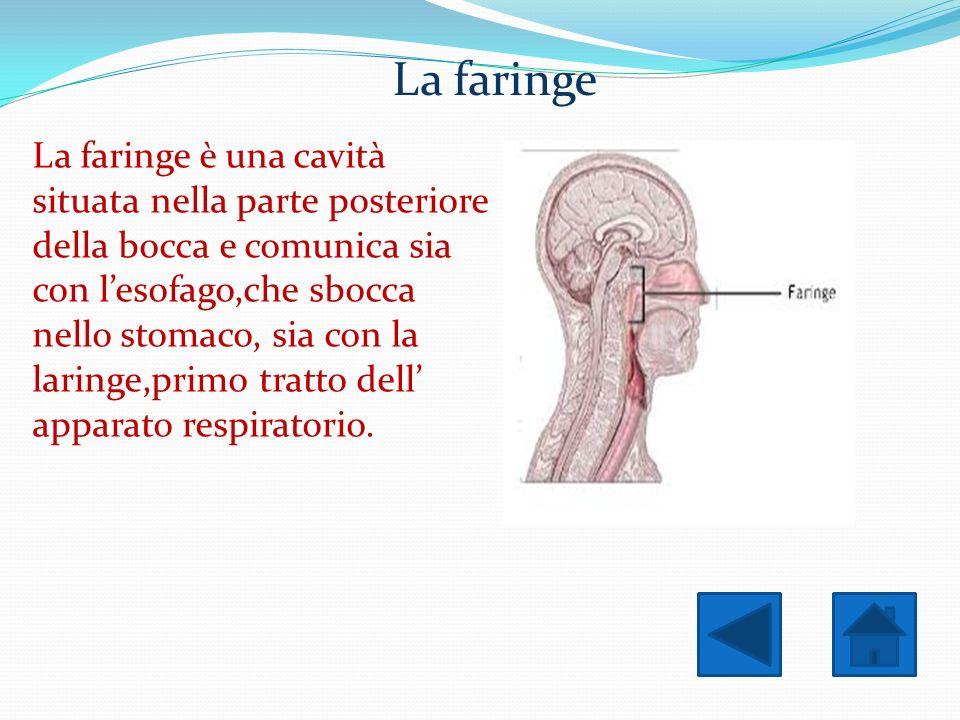 La faringe La faringe è una cavità situata nella parte posteriore della bocca e comunica sia con lesofago,che sbocca nello stomaco, sia con la laringe