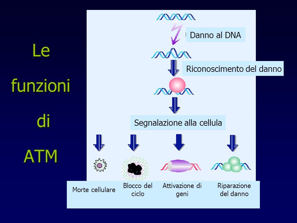Le funzioni di ATM Danno al DNA Segnalazione alla cellula Riconoscimento del danno Morte cellulare Blocco del ciclo Attivazione di geni Riparazione del danno