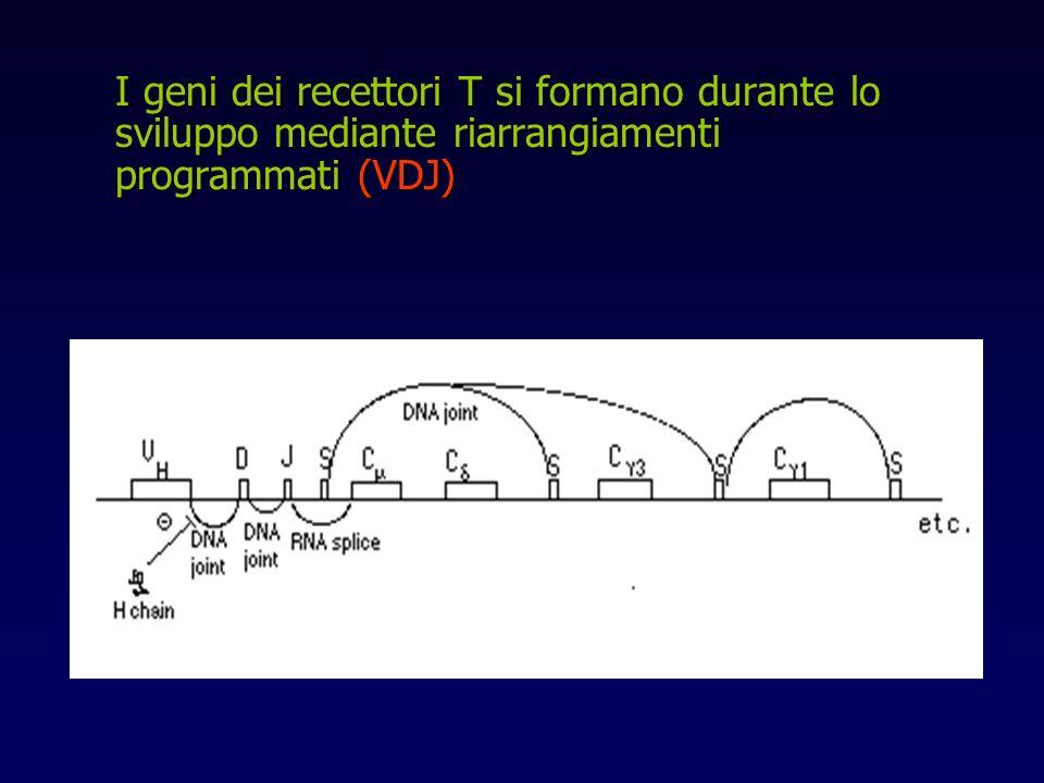 I geni dei recettori T si formano durante lo sviluppo mediante riarrangiamenti programmati (VDJ)