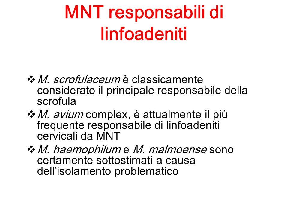 MNT responsabili di linfoadeniti M. scrofulaceum è classicamente considerato il principale responsabile della scrofula M. avium complex, è attualmente