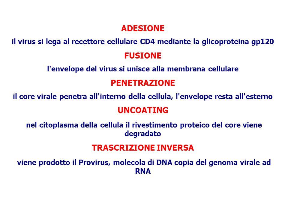 INTEGRAZIONE il Provirus viene integrato nel cromosoma della cellula TRASCRIZIONE DEL PROVIRUS l RNA polimerasi della cellula trascrive il provirus producendo RNA virale SINTESI PROTEINE VIRALI i ribosomi della cellula sintetizzano le proteine virali INTERVENTO DELLA PROTEASI VIRALE le proteine virali vengono rese funzionanti ASSEMBLAGGIO le proteine e l RNA virali si uniscono a formare un nuovo core GEMMAZIONE le nuove particelle virali fuoriescono dalla cellula