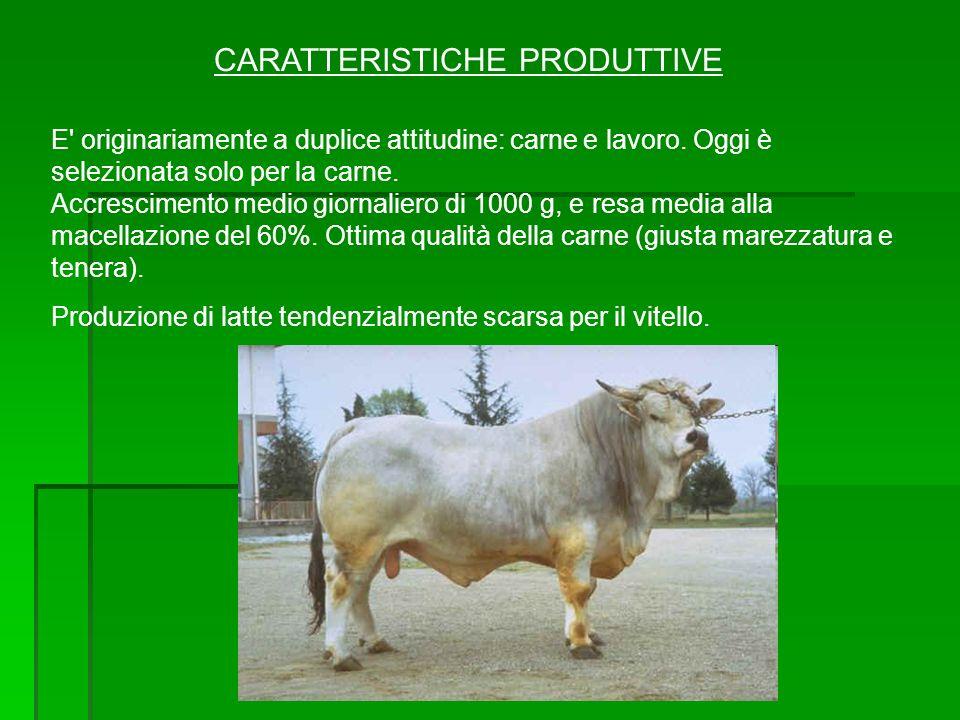CARATTERISTICHE PRODUTTIVE E' originariamente a duplice attitudine: carne e lavoro. Oggi è selezionata solo per la carne. Accrescimento medio giornali