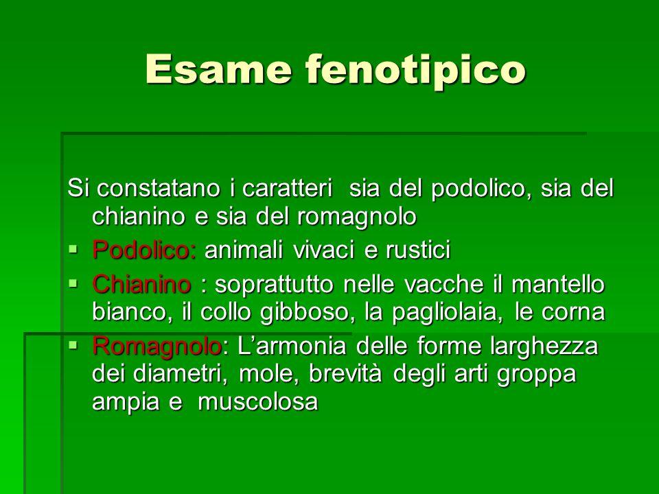 Esame fenotipico Si constatano i caratteri sia del podolico, sia del chianino e sia del romagnolo Podolico: animali vivaci e rustici Podolico: animali