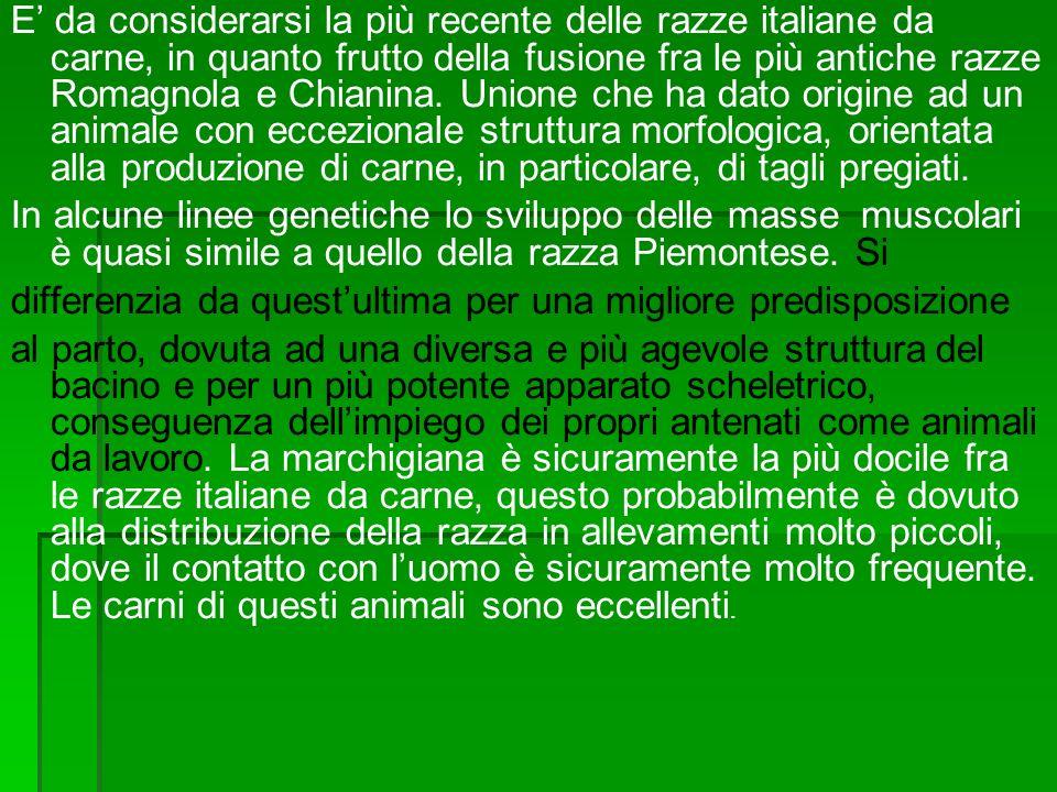 E da considerarsi la più recente delle razze italiane da carne, in quanto frutto della fusione fra le più antiche razze Romagnola e Chianina. Unione c