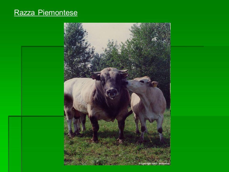 Razza Piemontese