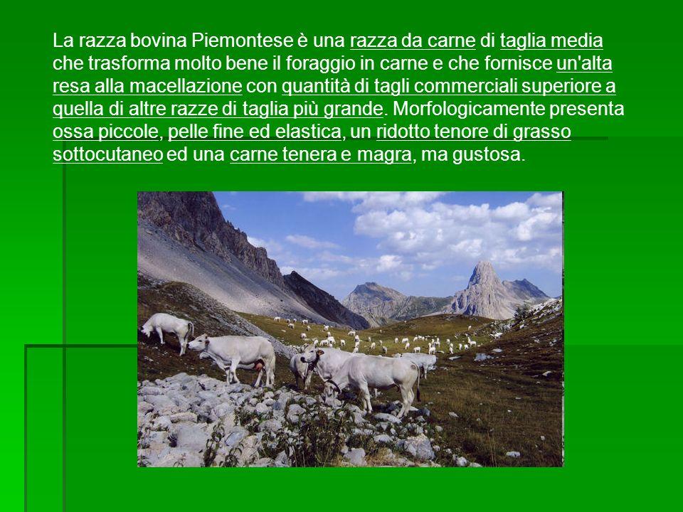 La razza bovina Piemontese è una razza da carne di taglia media che trasforma molto bene il foraggio in carne e che fornisce un'alta resa alla macella