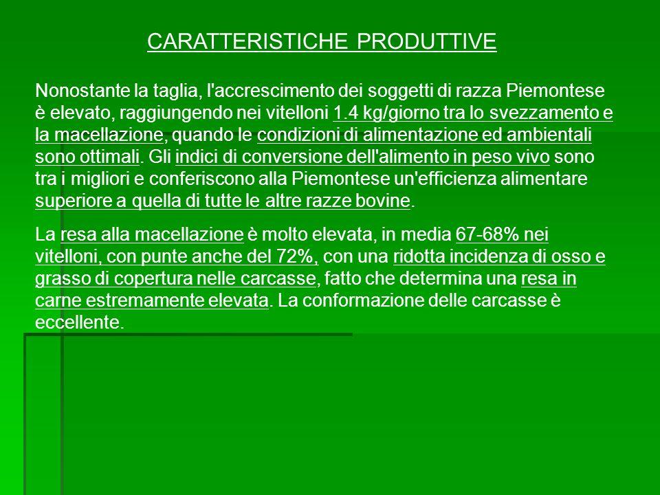 CARATTERISTICHE PRODUTTIVE Nonostante la taglia, l'accrescimento dei soggetti di razza Piemontese è elevato, raggiungendo nei vitelloni 1.4 kg/giorno
