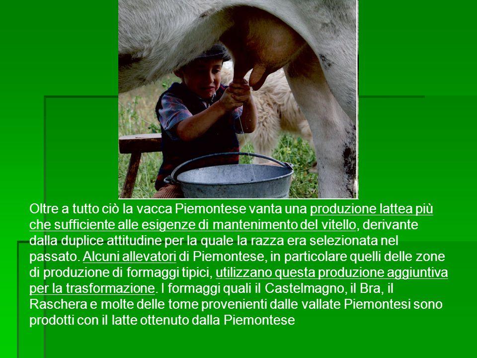 Oltre a tutto ciò la vacca Piemontese vanta una produzione lattea più che sufficiente alle esigenze di mantenimento del vitello, derivante dalla dupli