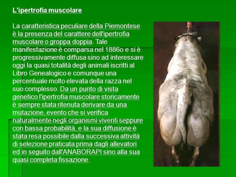 L'ipertrofia muscolare La caratteristica peculiare della Piemontese è la presenza del carattere dell'ipertrofia muscolare o groppa doppia. Tale manife