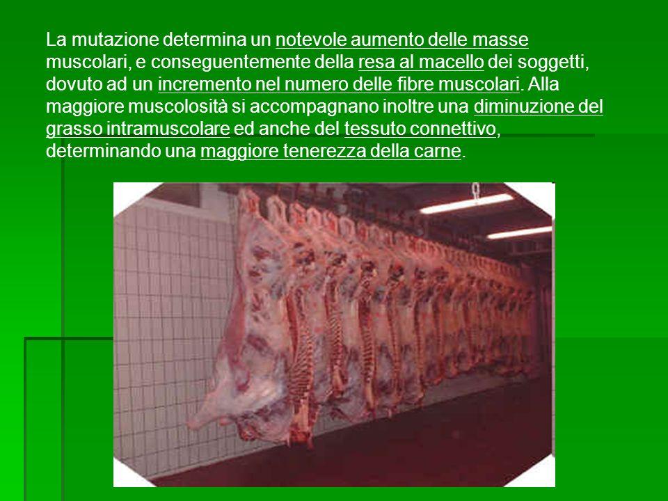 La mutazione determina un notevole aumento delle masse muscolari, e conseguentemente della resa al macello dei soggetti, dovuto ad un incremento nel n