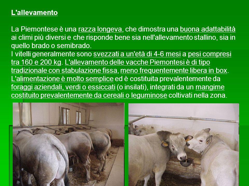 L'allevamento La Piemontese è una razza longeva, che dimostra una buona adattabilità ai climi più diversi e che risponde bene sia nell'allevamento sta