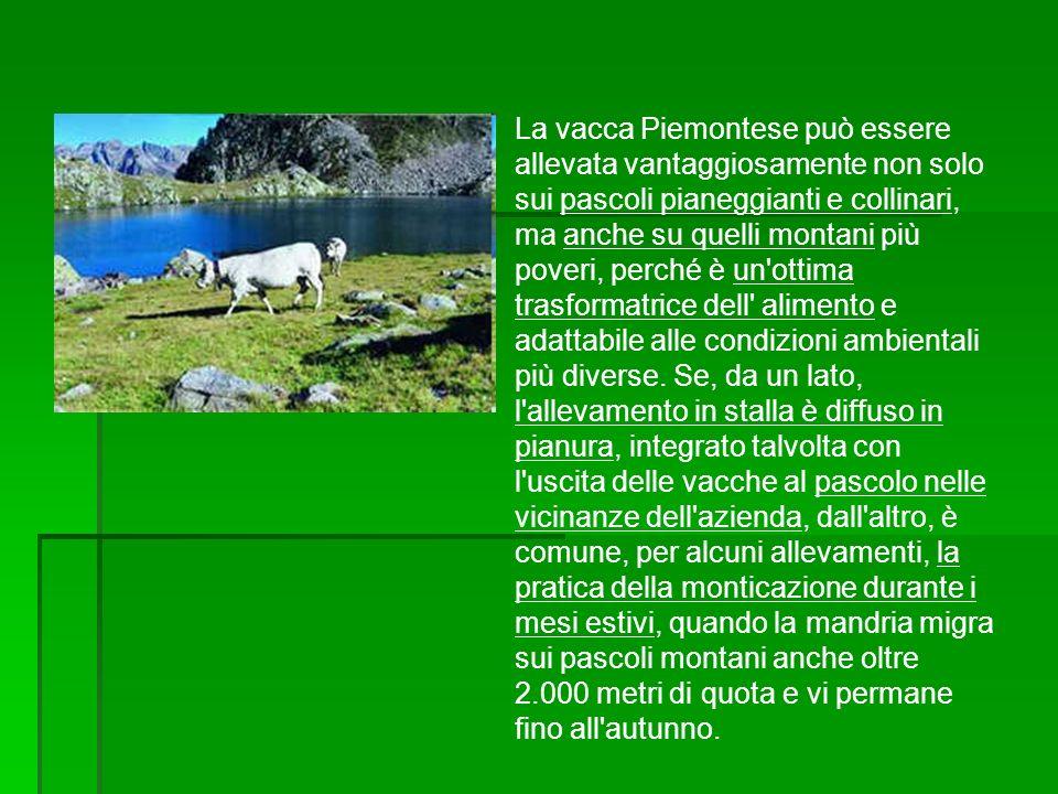 La vacca Piemontese può essere allevata vantaggiosamente non solo sui pascoli pianeggianti e collinari, ma anche su quelli montani più poveri, perché