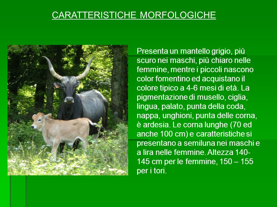 CARATTERISTICHE MORFOLOGICHE Presenta un mantello grigio, più scuro nei maschi, più chiaro nelle femmine, mentre i piccoli nascono color fomentino ed