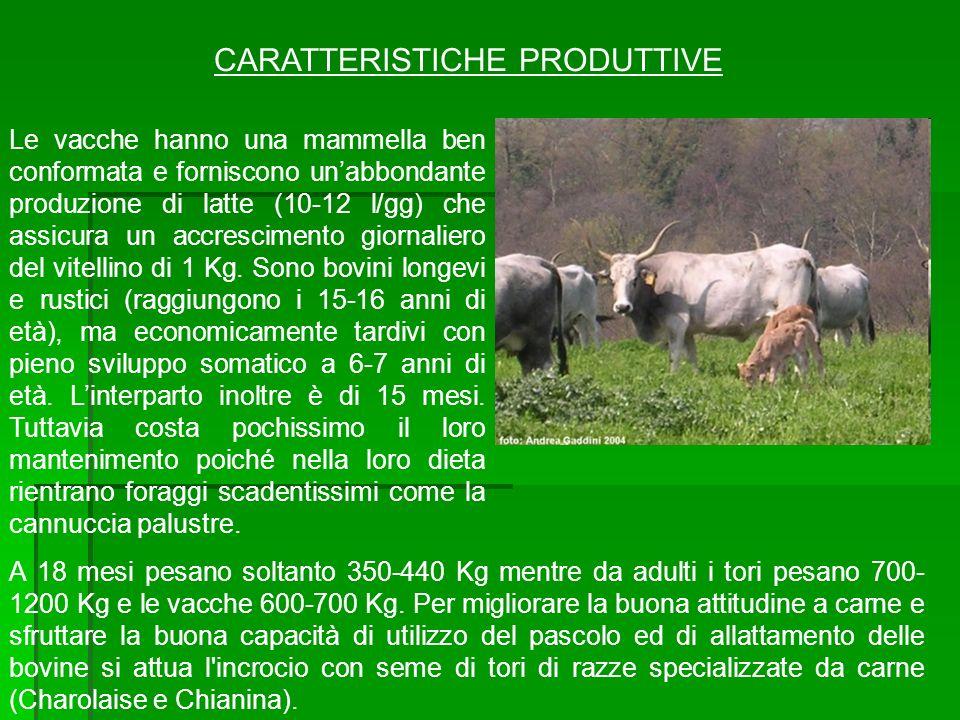 CARATTERISTICHE PRODUTTIVE Le vacche hanno una mammella ben conformata e forniscono unabbondante produzione di latte (10-12 l/gg) che assicura un accr