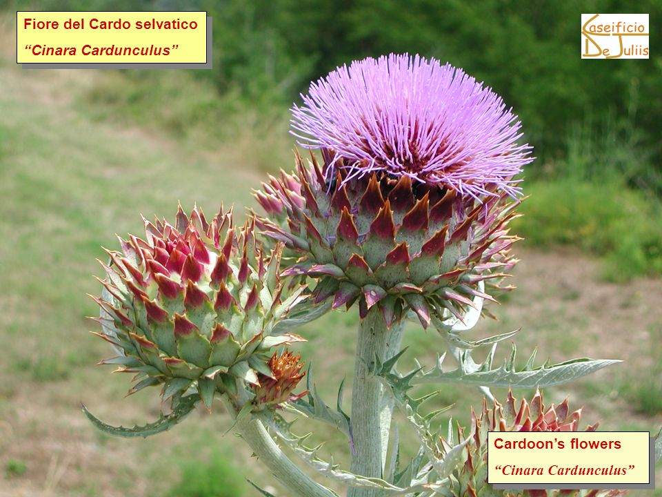 I fiori del cardo Cardoons flowers