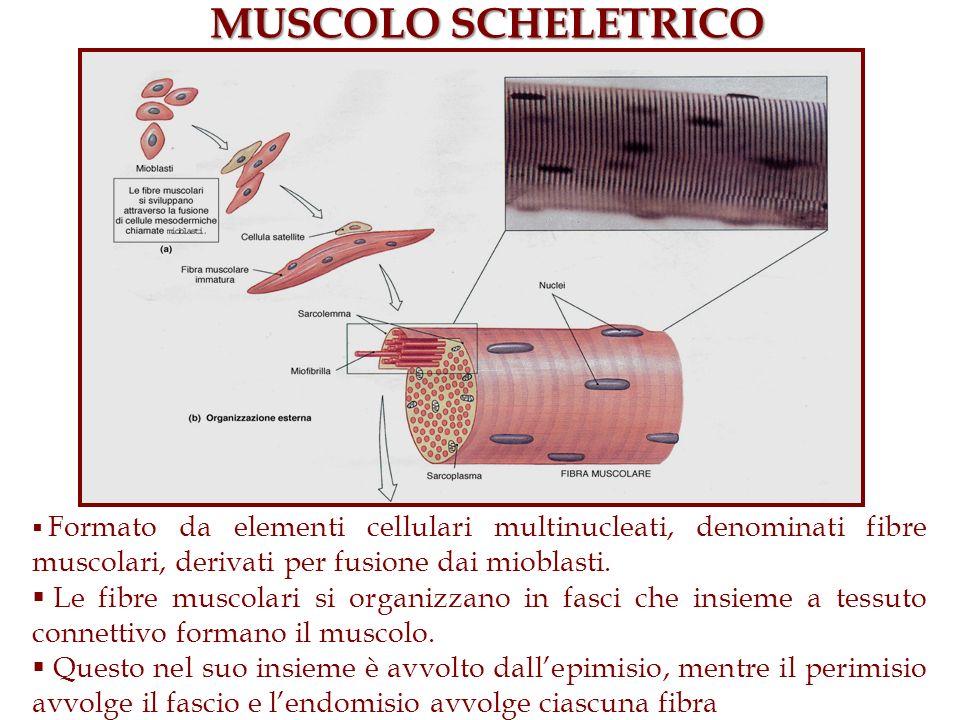 MUSCOLO SCHELETRICO Formato da elementi cellulari multinucleati, denominati fibre muscolari, derivati per fusione dai mioblasti. Le fibre muscolari si