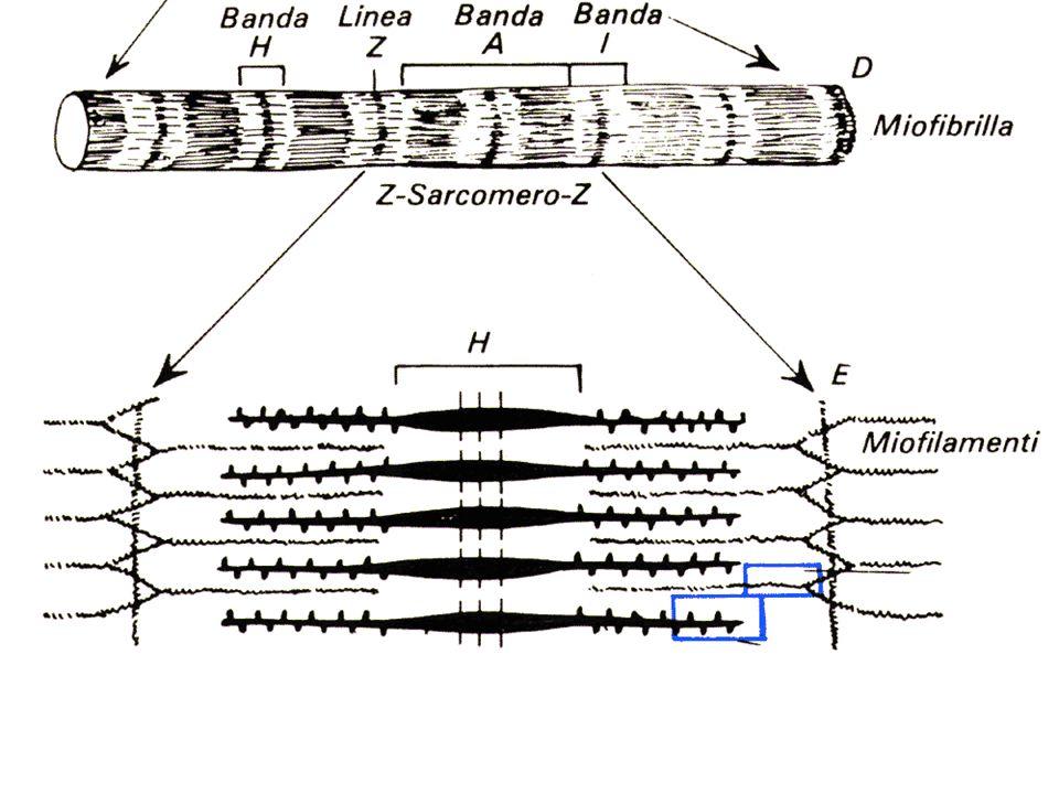 sarcomero e miofilamenti