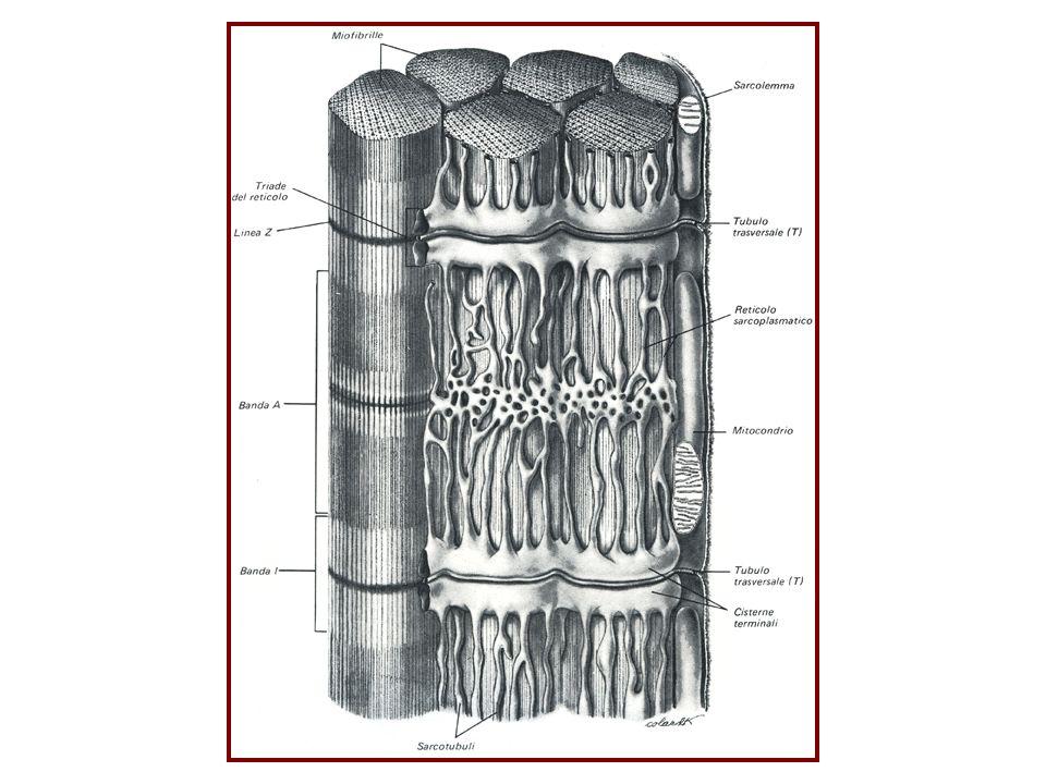 STRIATURE E FILAMENTI La particolare striatura trasversale caratteristica del muscolo scheletrico, è data dallorganizzazione dei miofilamenti che compongono le miofibrille di cui sono composte a loro volta le fibre muscolari.