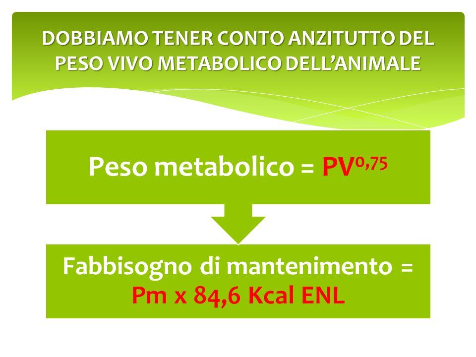 Fabbisogno di mantenimento = Pm x 84,6 Kcal ENL Peso metabolico = PV 0,75 DOBBIAMO TENER CONTO ANZITUTTO DEL PESO VIVO METABOLICO DELLANIMALE