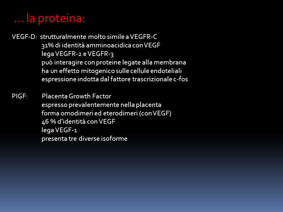 … la proteina: VEGF-D: strutturalmente molto simile a VEGFR-C 31% di identità amminoacidica con VEGF lega VEGFR-2 e VEGFR-3 può interagire con proteine legate alla membrana ha un effetto mitogenico sulle cellule endoteliali espressione indotta dal fattore trascrizionale c-fos PIGF: Placenta Growth Factor espresso prevalentemente nella placenta forma omodimeri ed eterodimeri (con VEGF) 46 % didentità con VEGF lega VEGF-1 presenta tre diverse isoforme
