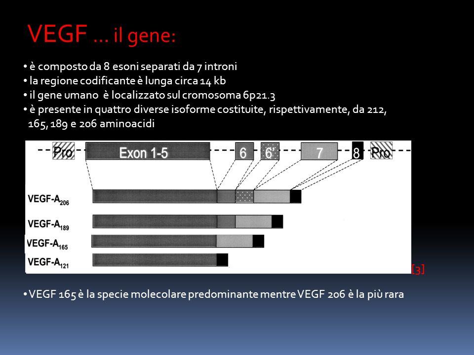 … la proteina: [3] VEGF è una glicoproteina basica di 45 Kda si associa a formare omodimeri è in grado di legare eparina le diverse isoforme hanno diversi punti isoelettrici e diversa affinità per leparina VEGF 121 è una proteina solubile VEGF 165 esiste sia come proteina solubile che legata alla superficie cellulare VEGF 189 e 206 si trovano quasi esclusivamente legate alla matrice extracellulare VEGF è quindi disponibile : - come proteina solubile - a seguito di taglio proteasico e clivaggio delle isoforme più lunghe