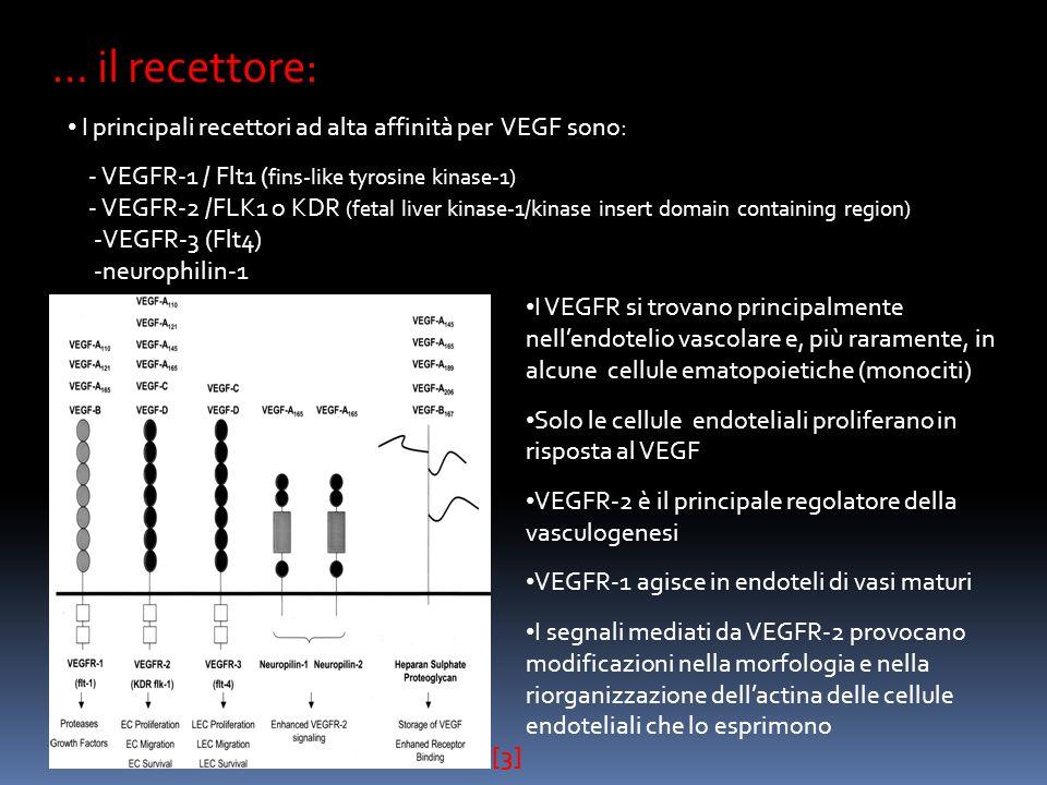 … il recettore: I principali recettori ad alta affinità per VEGF sono: - VEGFR-1 / Flt1 ( fins-like tyrosine kinase-1) - VEGFR-2 /FLK1 o KDR (fetal liver kinase-1/kinase insert domain containing region) -VEGFR-3 (Flt4) -neurophilin-1 [3] I VEGFR si trovano principalmente nellendotelio vascolare e, più raramente, in alcune cellule ematopoietiche (monociti) Solo le cellule endoteliali proliferano in risposta al VEGF VEGFR-2 è il principale regolatore della vasculogenesi VEGFR-1 agisce in endoteli di vasi maturi I segnali mediati da VEGFR-2 provocano modificazioni nella morfologia e nella riorganizzazione dellactina delle cellule endoteliali che lo esprimono