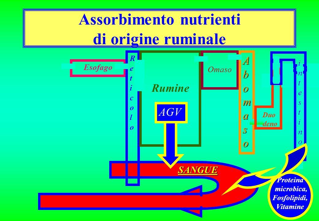 SANGUE Esofago ReticoloReticolo Rumine Omaso AbomasoAbomasoAbomasoAbomaso Duo deno intestinointestino Assorbimento nutrienti di origine ruminale AGV Proteina microbica, Fosfolipidi, Vitamine