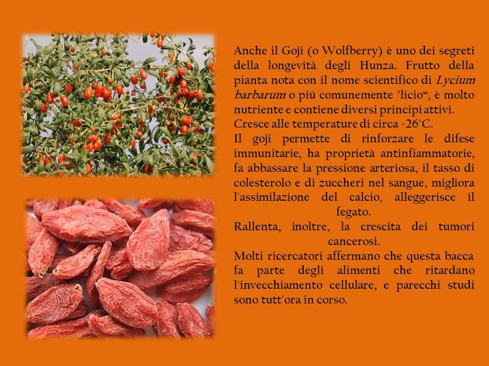 Anche il Goji (o Wolfberry) è uno dei segreti della longevità degli Hunza. Frutto della pianta nota con il nome scientifico di Lycium barbarum o più c