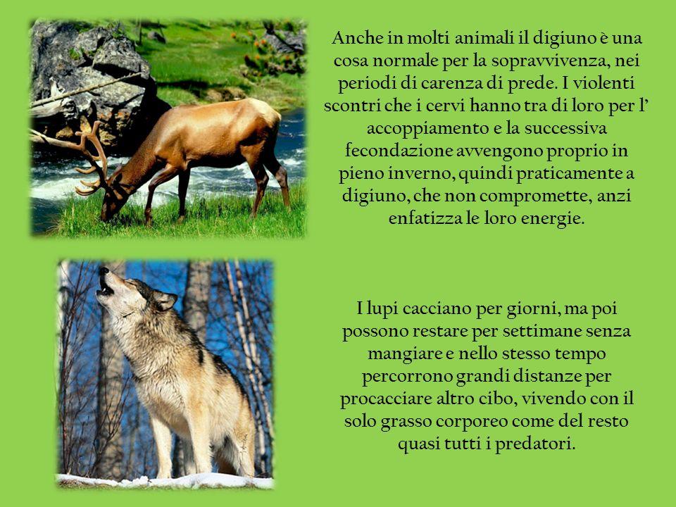 Anche in molti animali il digiuno è una cosa normale per la sopravvivenza, nei periodi di carenza di prede. I violenti scontri che i cervi hanno tra d