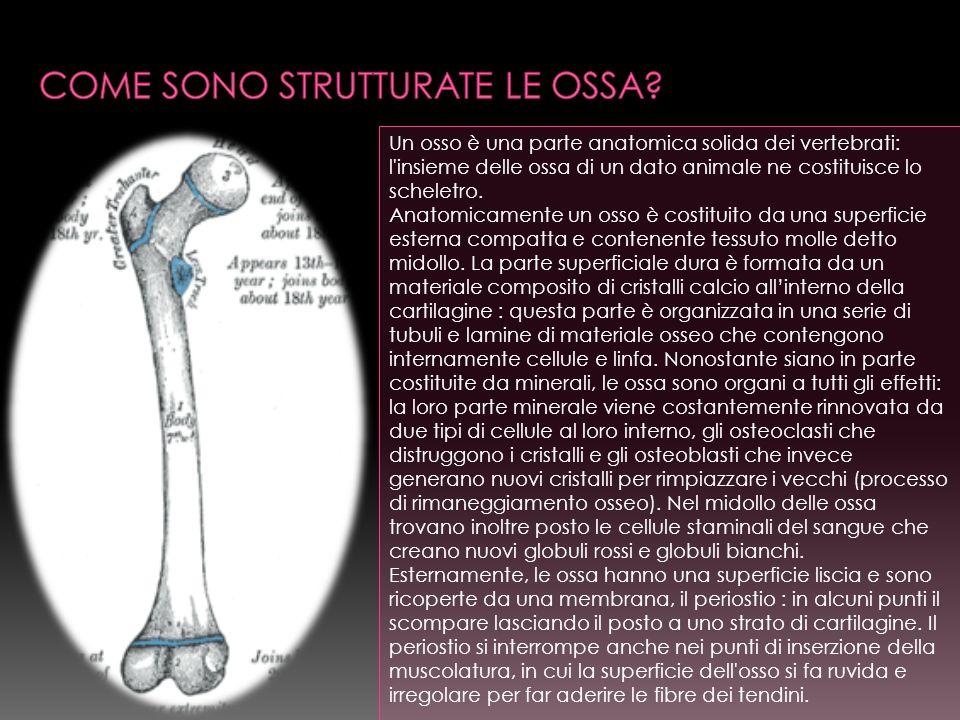 Un osso è una parte anatomica solida dei vertebrati: l insieme delle ossa di un dato animale ne costituisce lo scheletro.