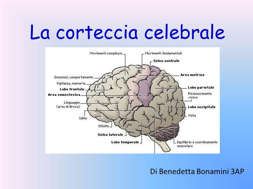 La corteccia celebrale Di Benedetta Bonamini 3AP