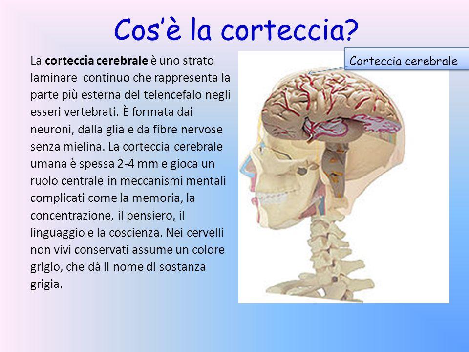 Cosè la corteccia? La corteccia cerebrale è uno strato laminare continuo che rappresenta la parte più esterna del telencefalo negli esseri vertebrati.