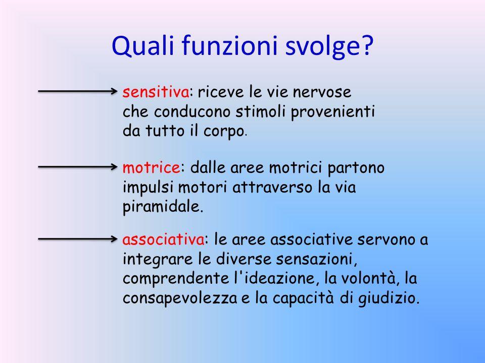 Quali funzioni svolge? sensitiva: riceve le vie nervose che conducono stimoli provenienti da tutto il corpo. motrice: dalle aree motrici partono impul