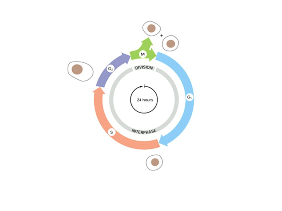 Il ciclo cellulare: interfase e mitosi Interfase: G1 (G=gap) S (duplicazione del DNA) G2 Nellinterfase la cellula cresce in volume ed è attiva nelle sue funzioni metaboliche, come lossidazione del glucosio, la trascrizione, la traduzione e la replicazione.