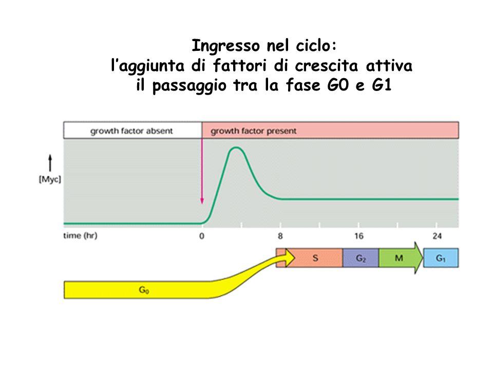 Ingresso nel ciclo e transizione G1-S: il fattore di crescita attiva la via di trasduzione del segnale che porta alla trascrizione genica.