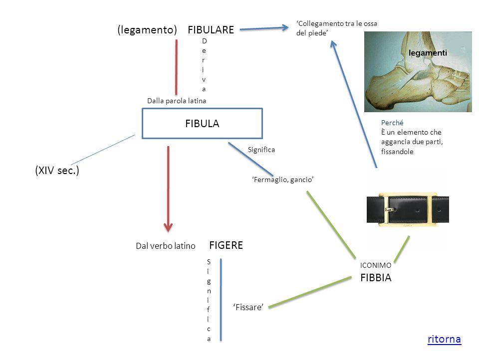 (legamento) FIBULARE DerivaDeriva FIBULA Dalla parola latina (XIV sec.) Fermaglio, gancio Significa Dal verbo latino FIGERE SignificaSignifica Fissare
