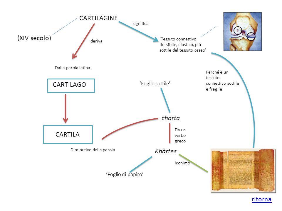 CARTILAGINE Tessuto connettivo flessibile, elastico, più sottile del tessuto osseo CARTILAGO Dalla parola latina CARTILA Diminutivo della parola (XIV
