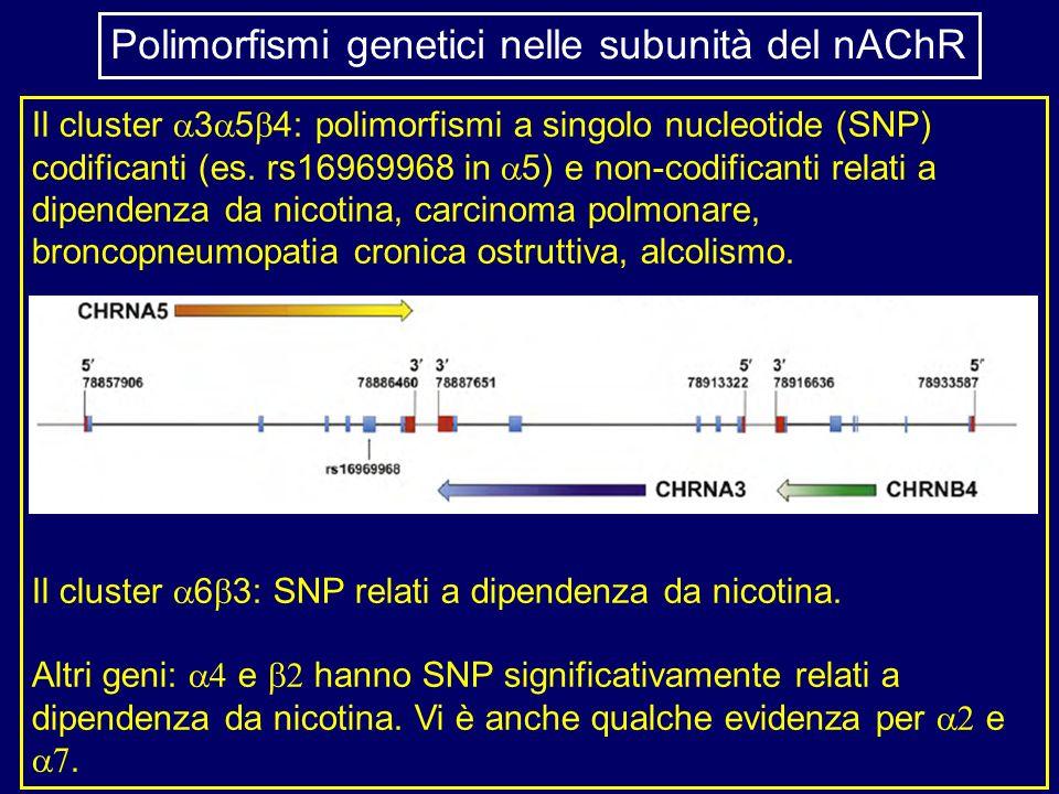 Il cluster 3 5 4: polimorfismi a singolo nucleotide (SNP) codificanti (es. rs16969968 in 5) e non-codificanti relati a dipendenza da nicotina, carcino