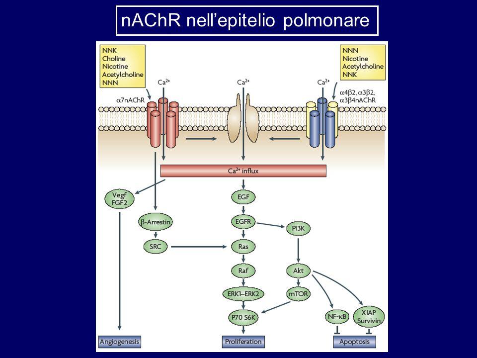 nAChR nellepitelio polmonare